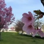 汐入公園|桜の花見にはややおとなしめ・・・。普段使いに!